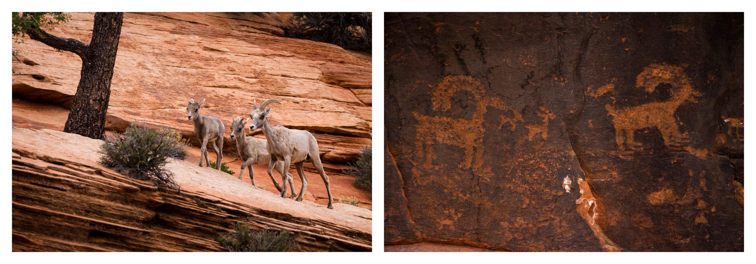 Desert Bighorn Sheep  ( Ovis canadensis nelsoni )  Utah