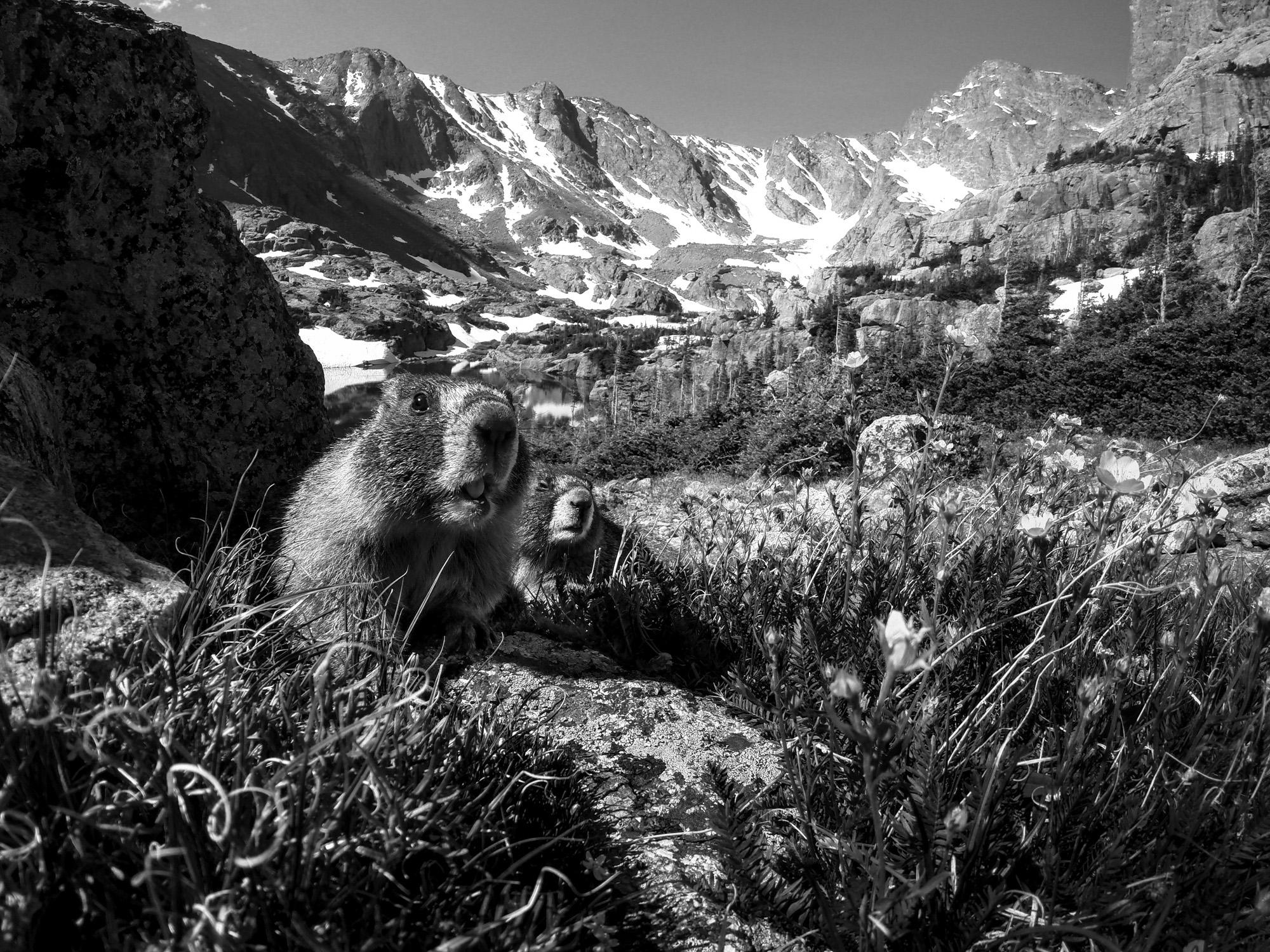 Yellow-Bellied Marmot  ( Marmota flaviventris )  Rocky Mountain National Park, Colorado