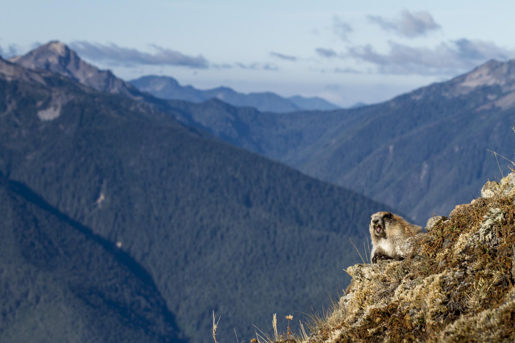 Olympic Marmot  ( Marmota olympus )  Washington State