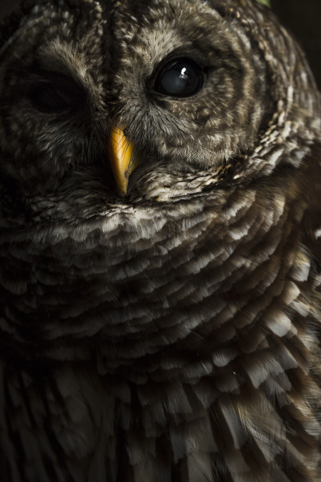 Barred Owl ( Strix varia )  Ocala Wildlife Sanctuary, Florida  Captive