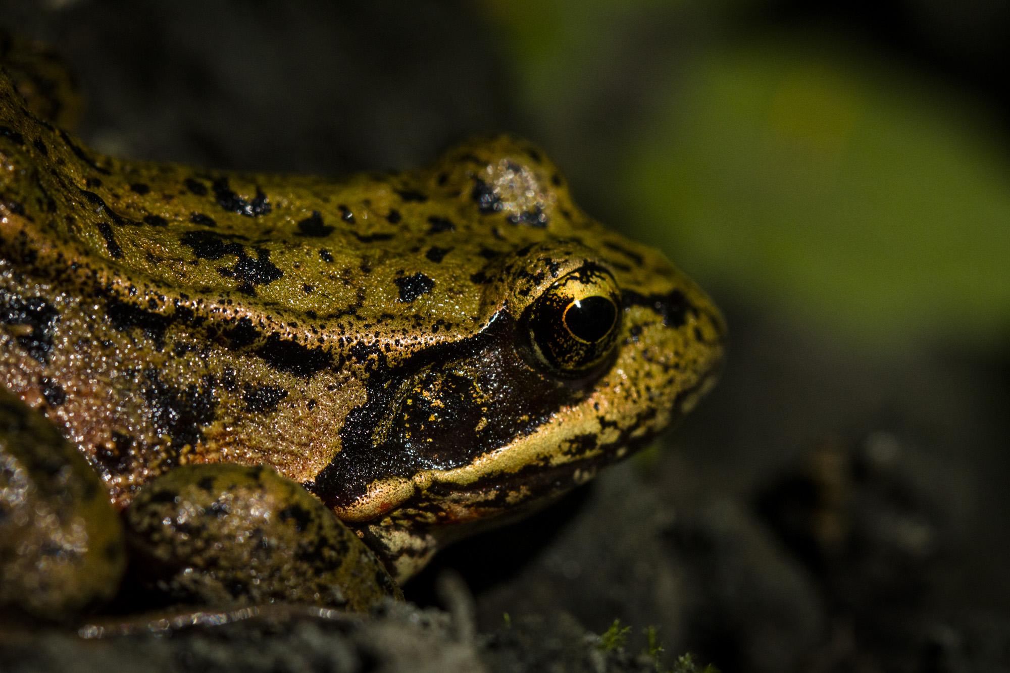 Columbia Spotted Frog  ( Rana luteiventris )  Montana
