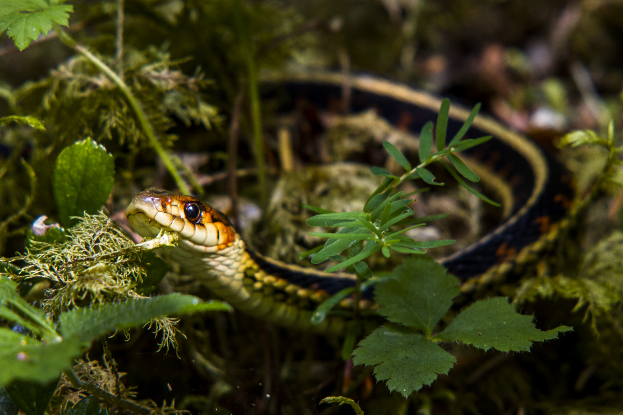Red Spotted Garter Snake  ( Thamnophis sirtalis concinnus )  Washington State