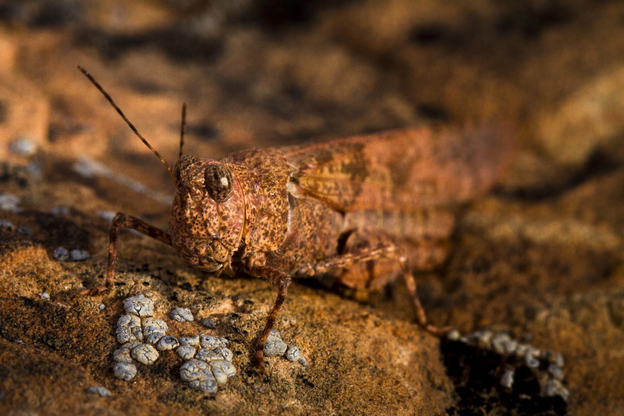 Carolina Locust  ( Dissosteira carolina )  Utah