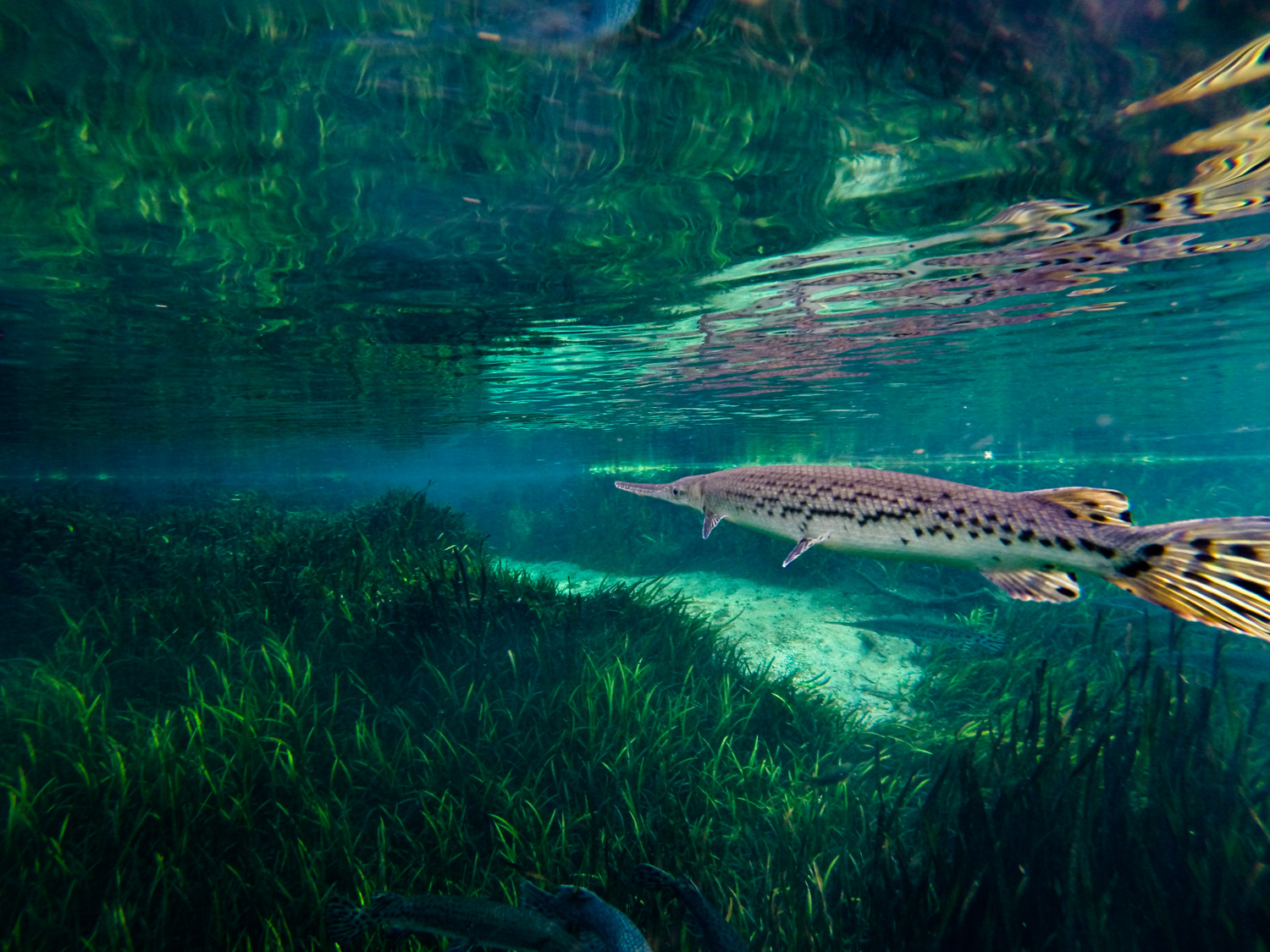 A Florida Gar, ( Lepisosteus platyrhincus ) hovers just below the surface of Ichetucknee Spring, Florida.  The gar family,(Lepisosteidae) evolved during the late Cretaceous, and since that time has changed very little.