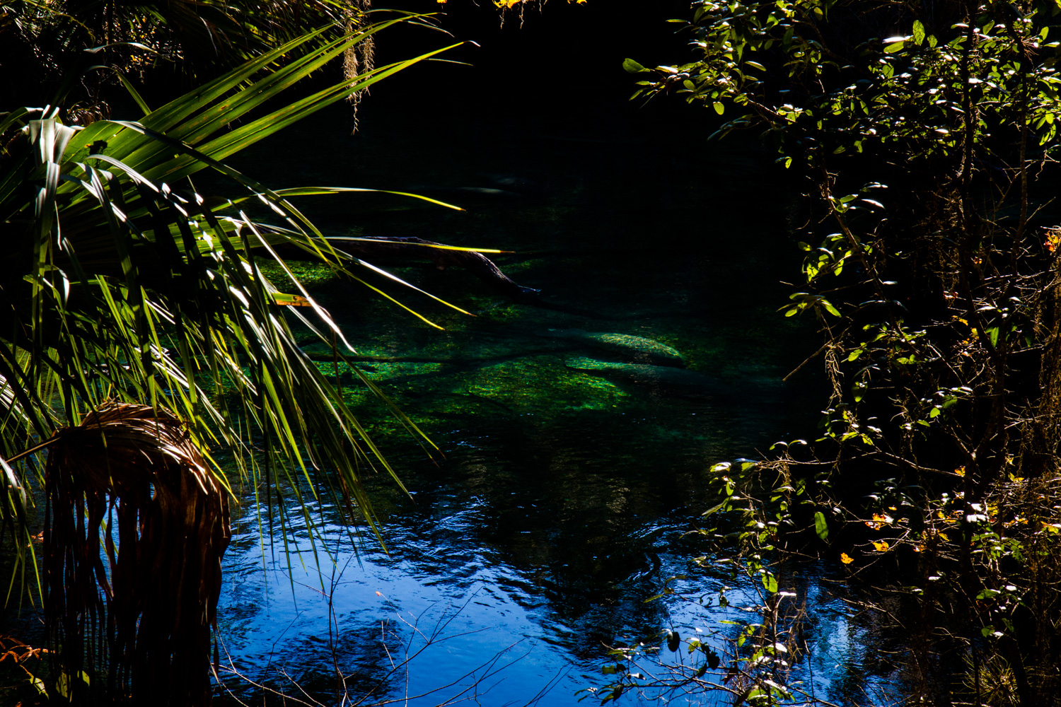 West Indian Manatees, ( Trichechus manatus ) swim and congregate in Volusia Blue Spring, Florida.
