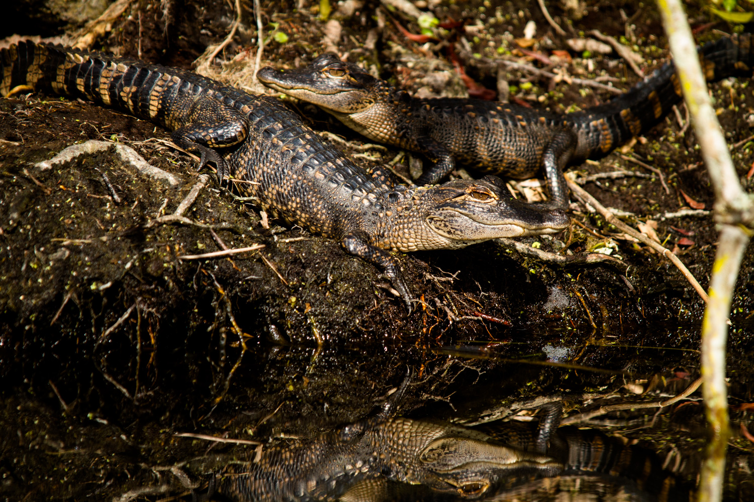 Juvenile American alligators,( Alligator mississippiensis ) bask in the sun near the bank of Silver Glen Spring, Florida. While alligators do not nurture their offspring, even non-related adult alligators are known to come to the aid of juveniles upon hearing distress cries.