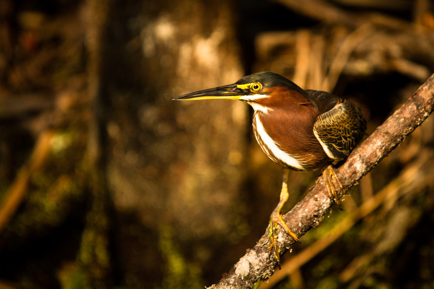 A green heron, ( Butorides virescens ) perches above the waters of Silver Glen Spring, Florida and watches for dinner.  Green heron are among the most intelligent of the heron family.  They have been known to use fishing lures to attract small prey.