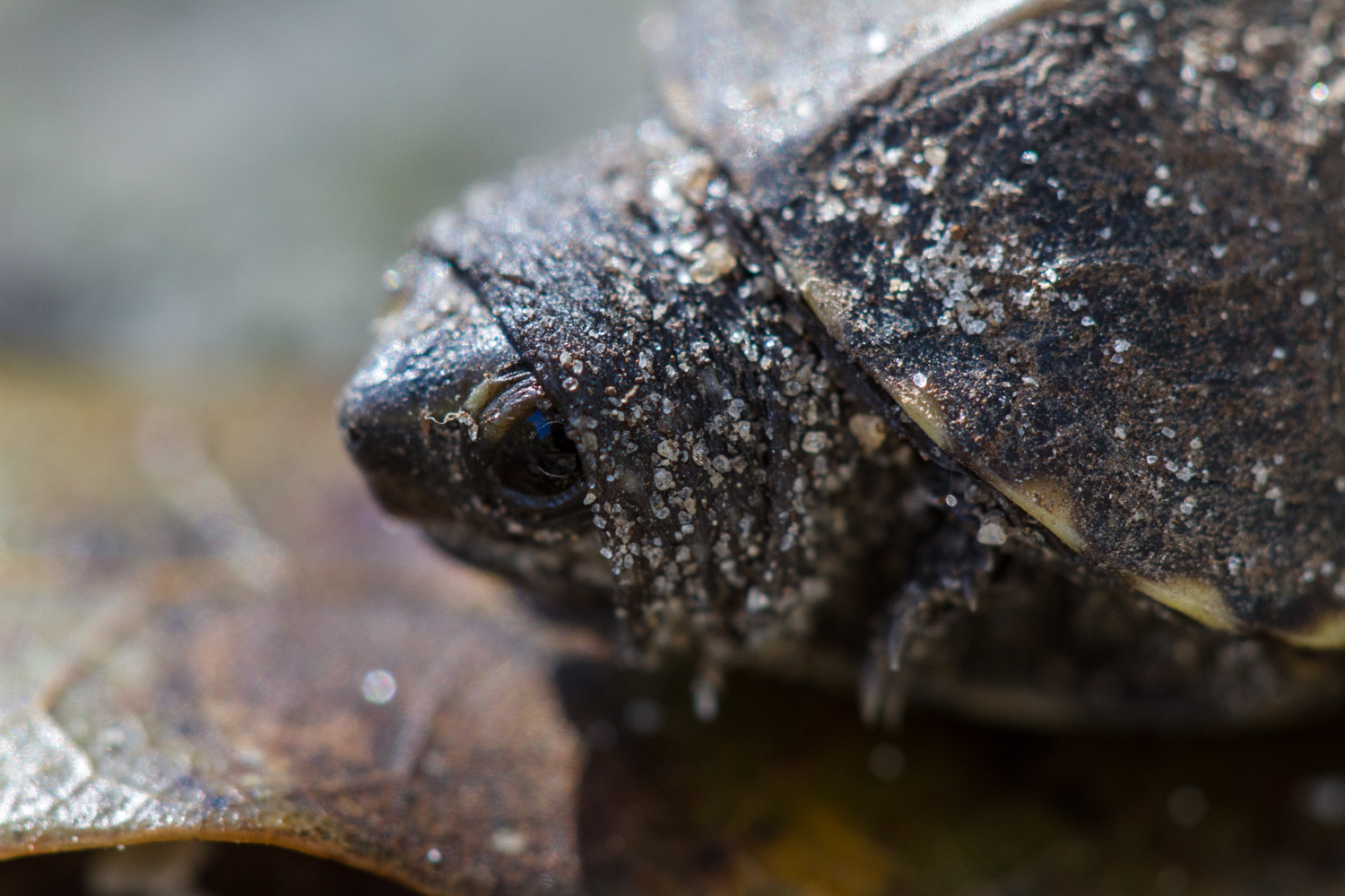 A juvenile turtle Sp. unknown, Rainbow Springs, Florida.