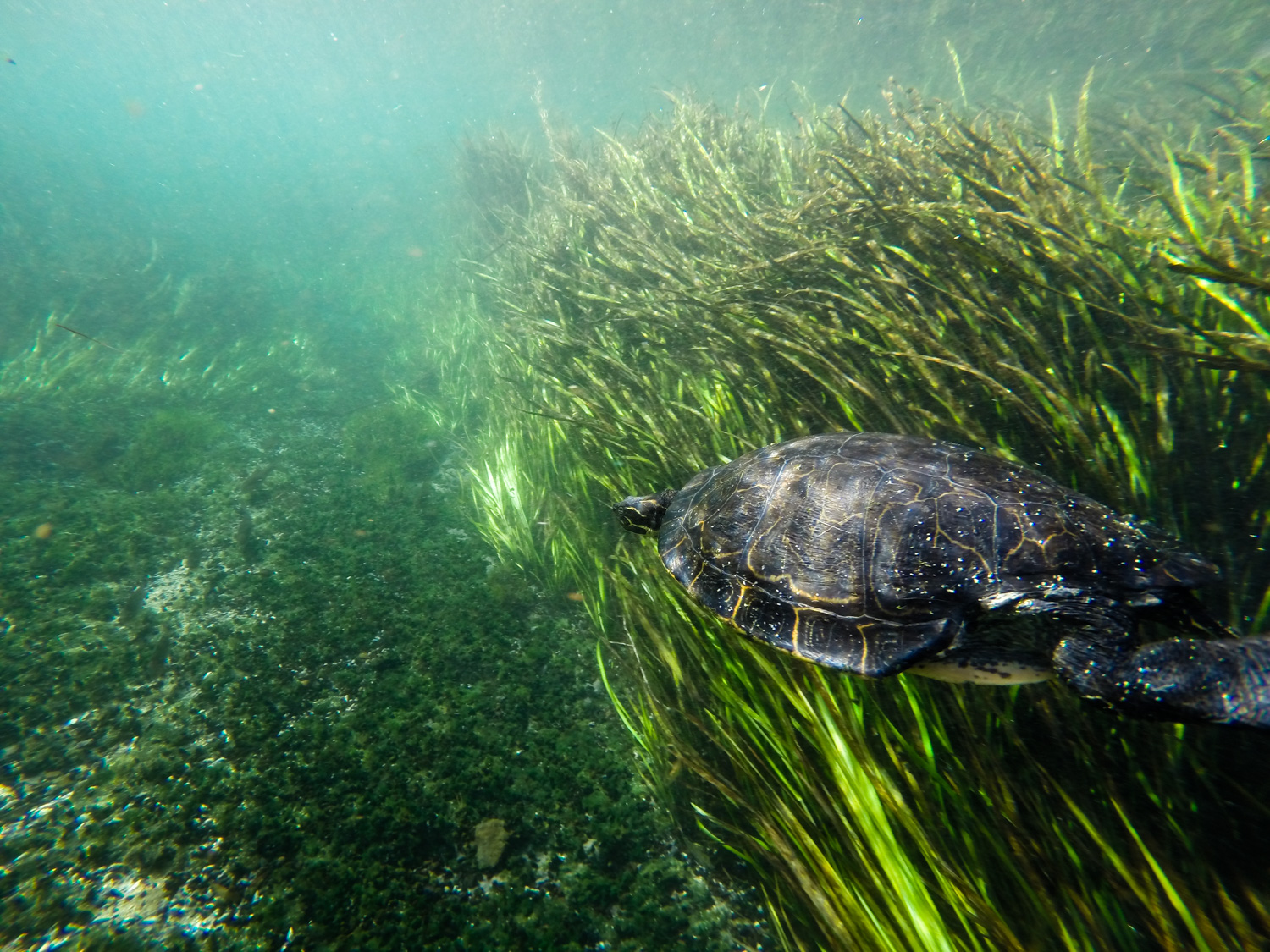 A river cooter (Pseudemys concinna) swims in the Ichetucknee River.
