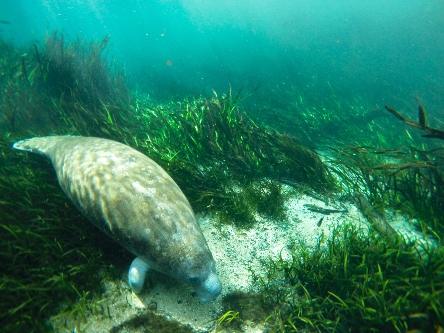 A young West Indian Manatee ( Trichechus manatus ) feeding on eel grass. Ichetucknee River.