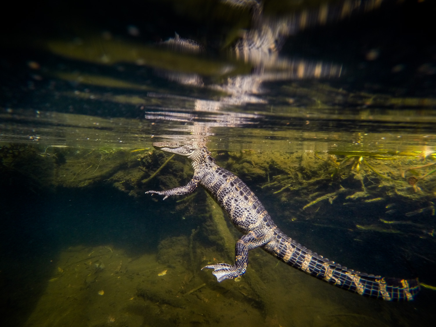 An alligator ( Alligator mississippiensis ) rests just below the surface in Florida's Silver Glen Spring.