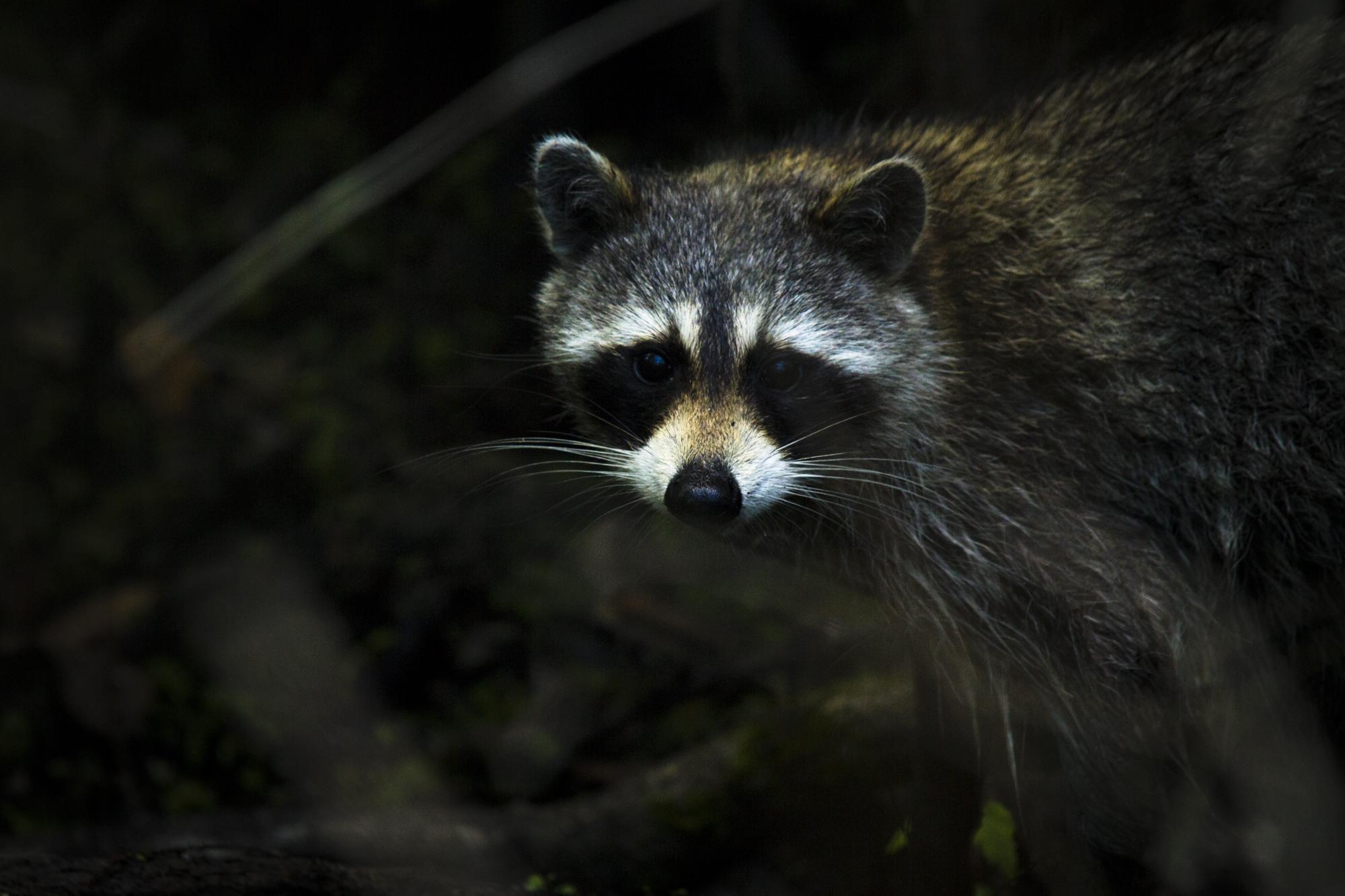 Florida Raccoon   (Procyon lotor elucus)   Florida