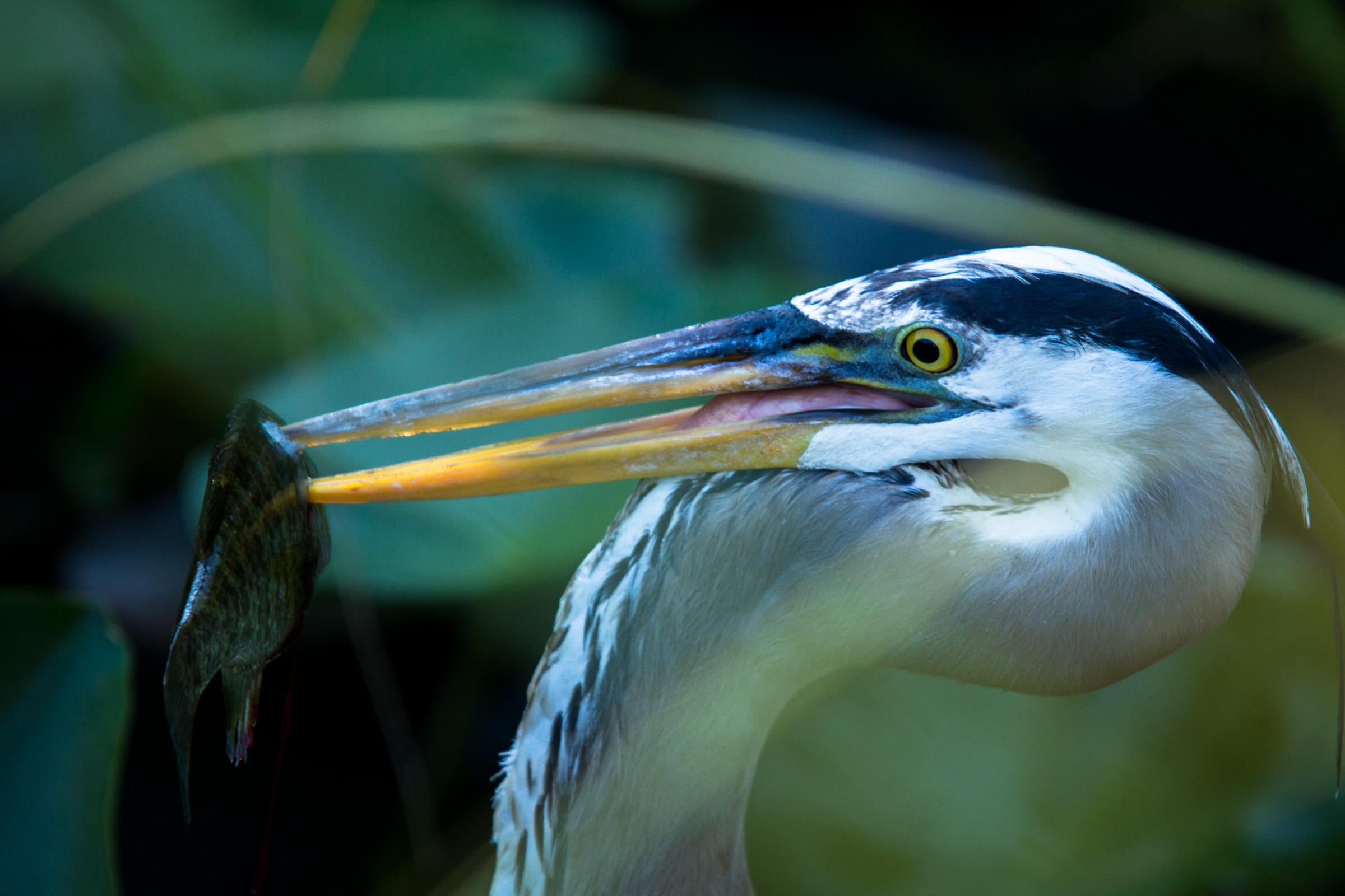 Great Blue Heron  ( Ardea herodias )  Everglades National Park  Florida