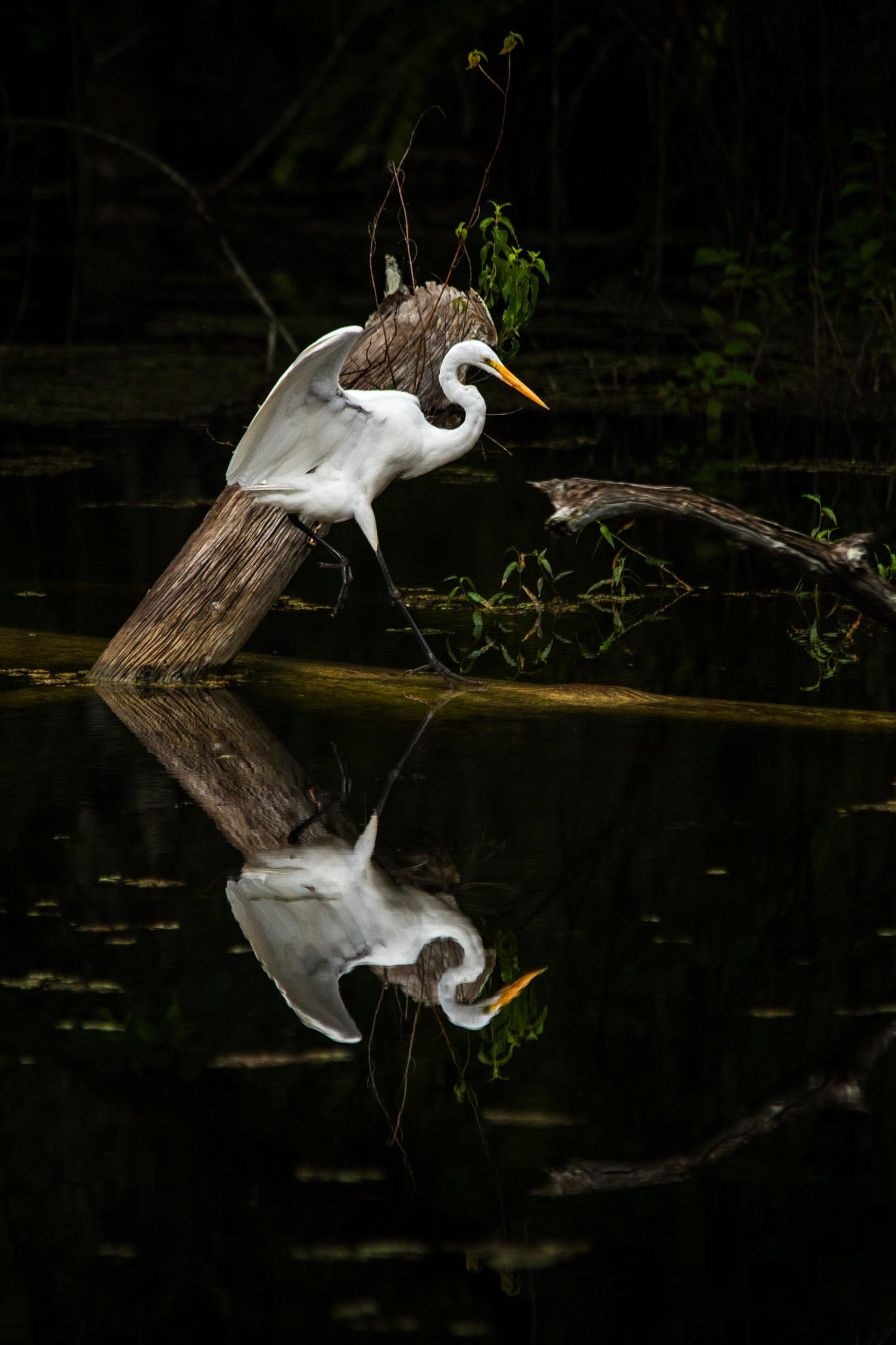 Great Egret  ( Ardea alba )  Florida