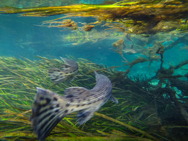 Two Florida gar, ( Lepisosteus platyrhincus ) swim in formation. Ichetucknee Spring, Florida.