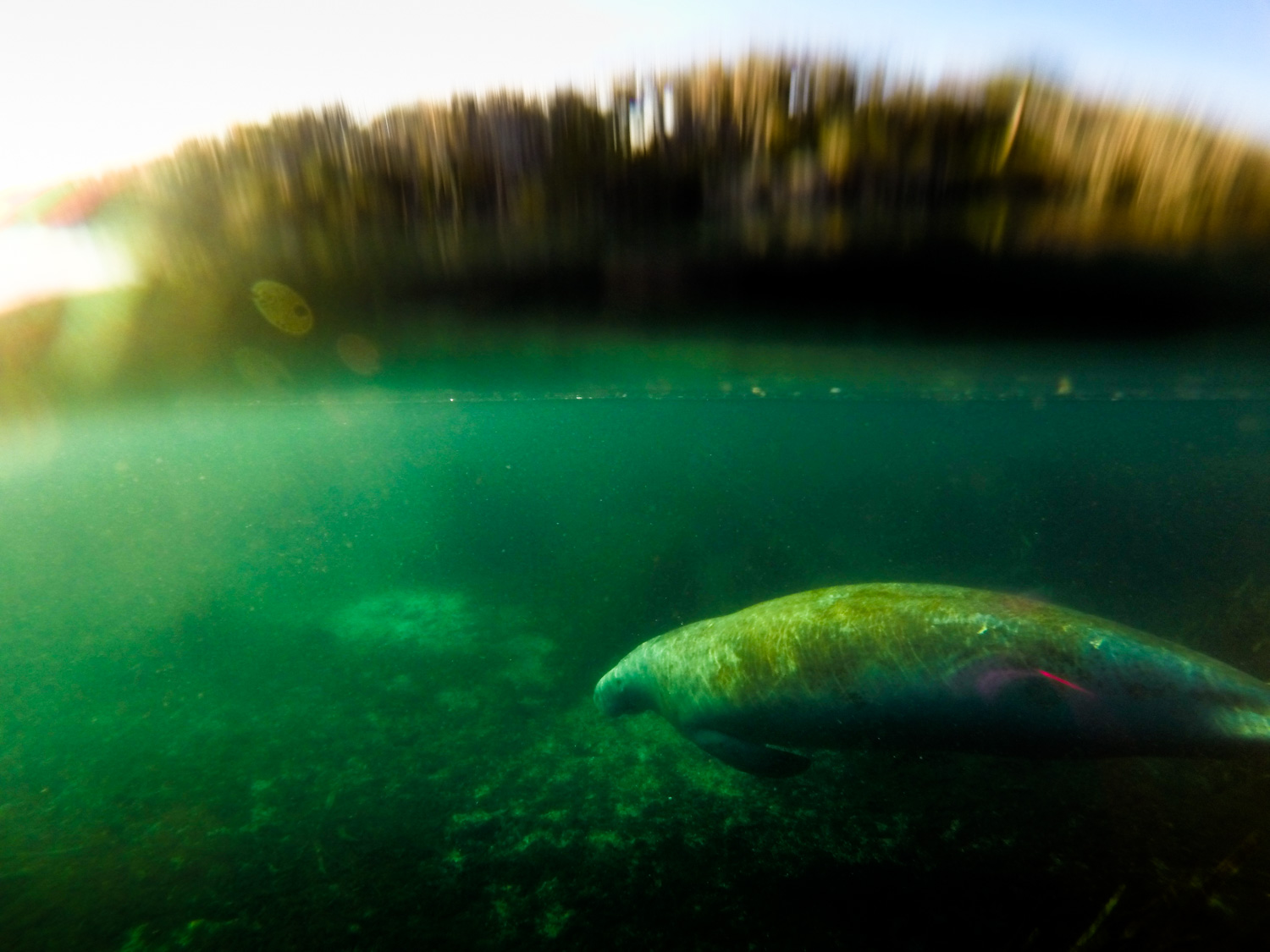 A solitary West Indian Manatee, (Trichechus manatus) is illuminated by the setting sun.  Silver Glen Spring, Florida.