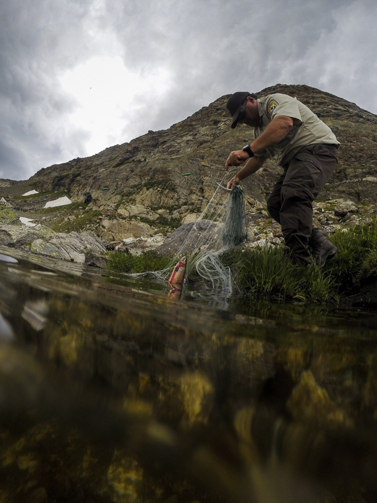 Chris Kennedy of the US Fish and Wildlife Service uses a net to conduct a population study of greenback cutthroats.