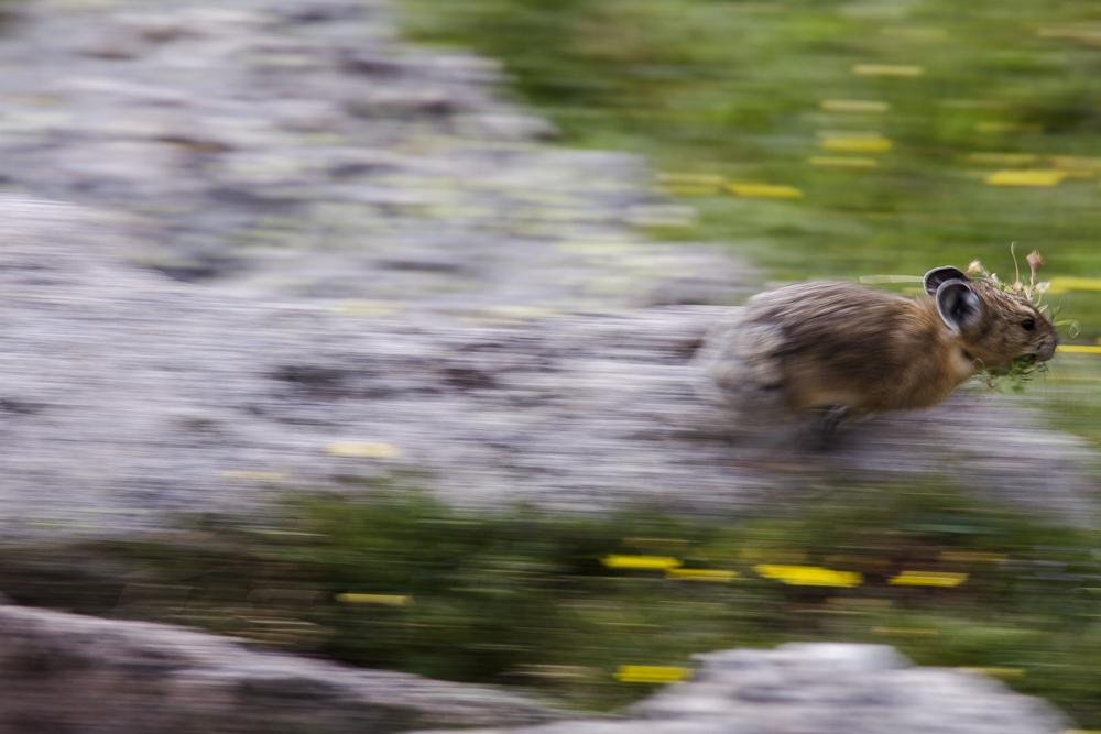 American Pika  (Ochonta princeps)  Rocky Mountain National Park, Colorado
