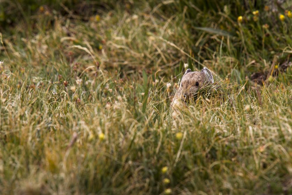 Pika  (Ochonta princeps)  Rocky Mountain National Park, Colorado