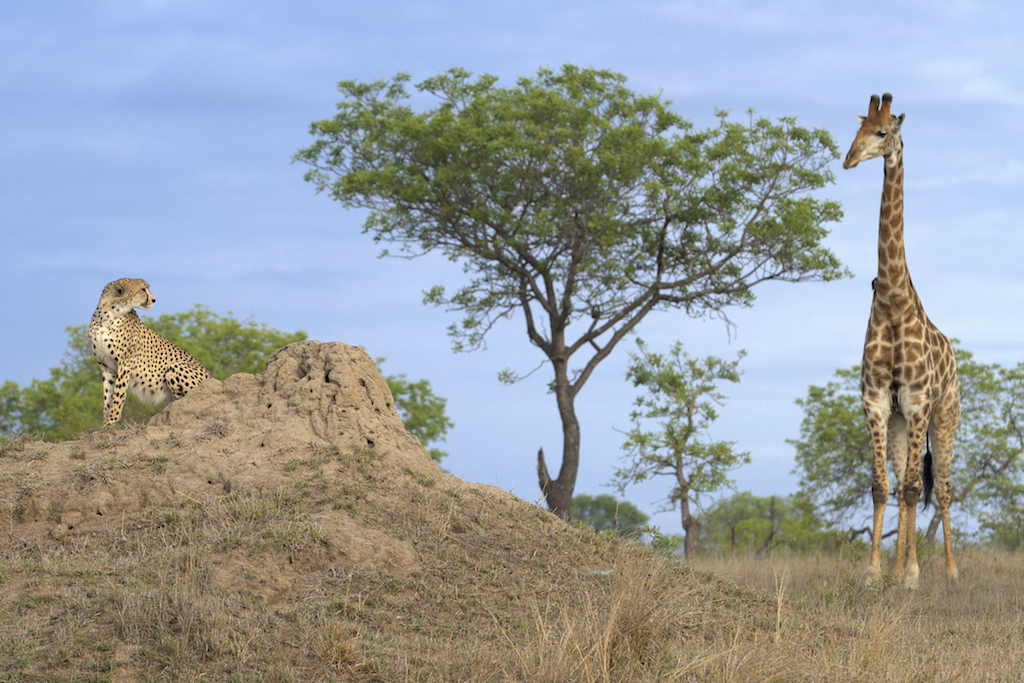 cheetah_giraffe.jpg