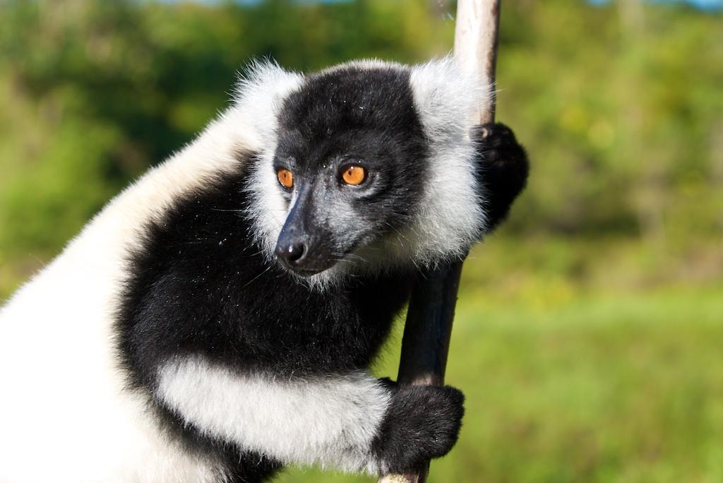 T_Steffens_Lemur 6.jpg