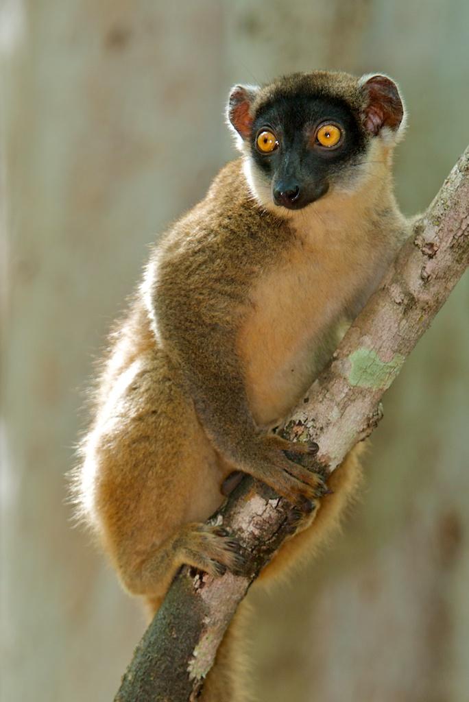T_Steffens_Lemur 14.jpg