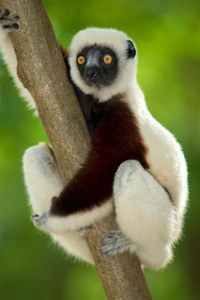 T_Steffens_Lemur 16.jpg