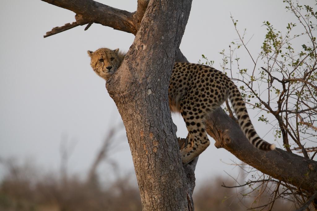 T_Steffens_Cheetahs 1.jpg