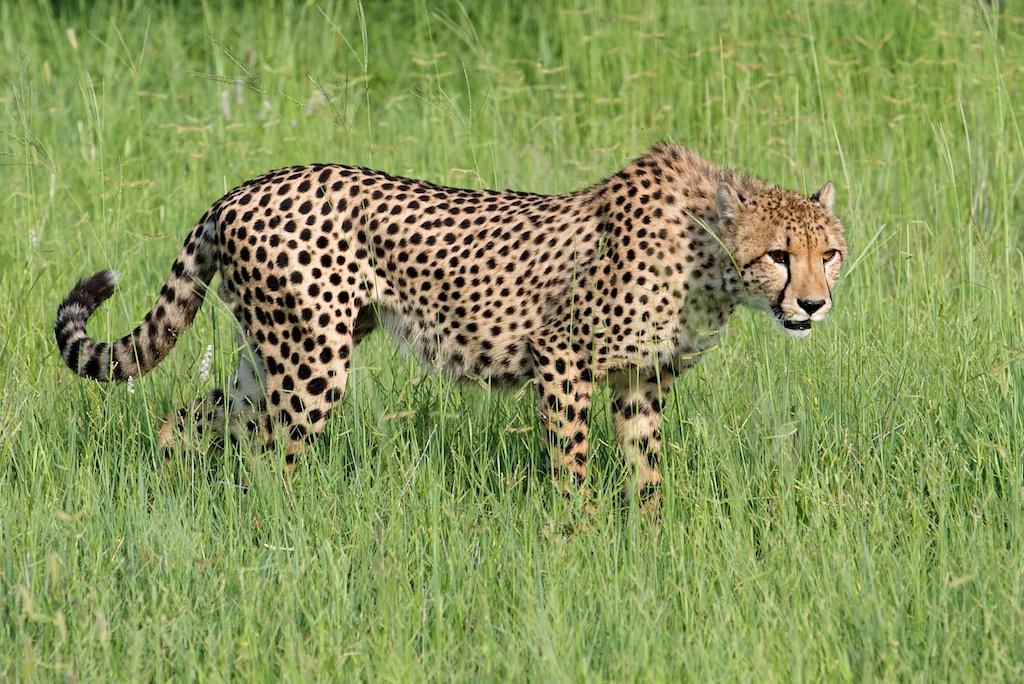 T_Steffens_Cheetahs 2.jpg