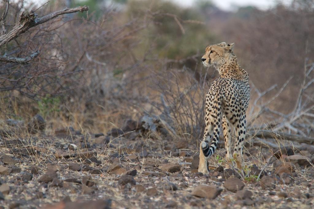 T_Steffens_Cheetahs 4.jpg