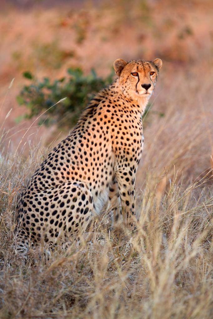 T_Steffens_Cheetahs 7.jpg