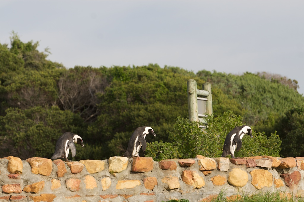 T_Steffens_Penguins 2.jpg