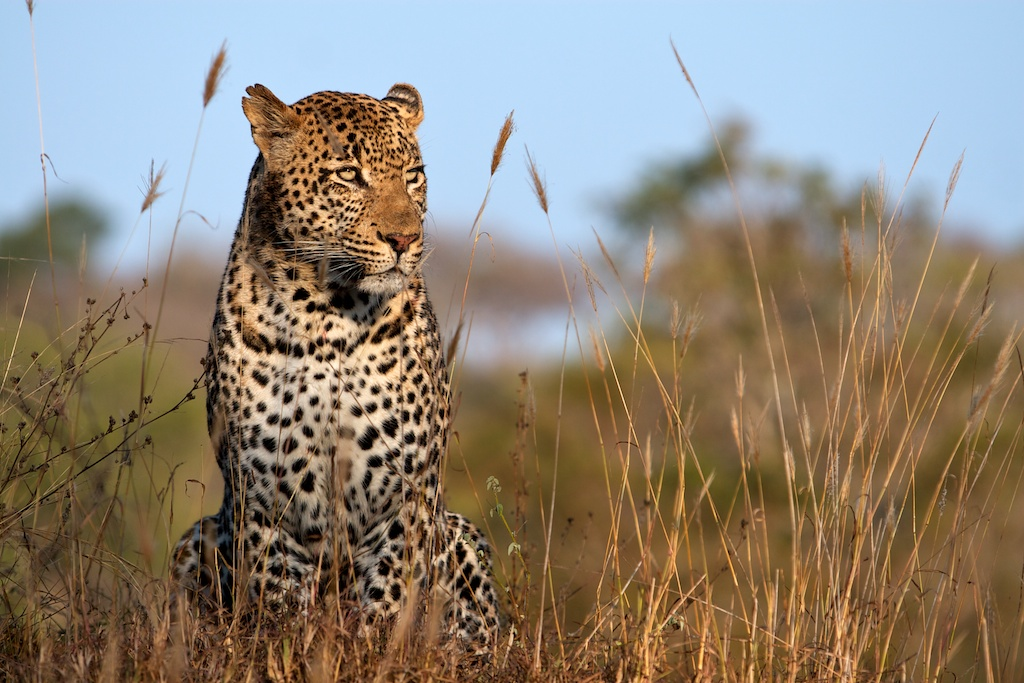 T_Steffens_Leopards 2.jpg