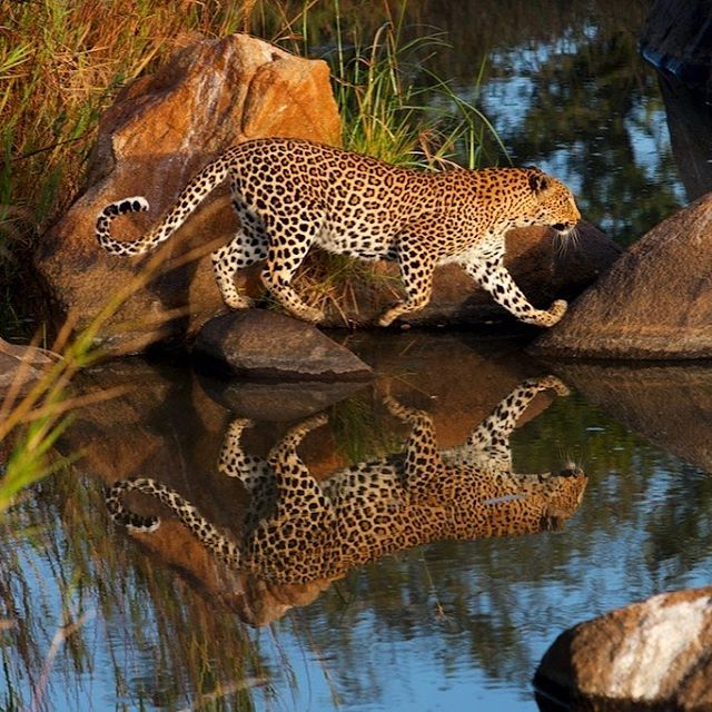 """One of my favourite leopard shots. Taken on the incredible Sand river on an early morning game drive. The ranger parked the car in the perfect spot and said """"I bet it will come over here"""". I got my camera ready and he was right. Another reason why @londolozi is one of the best places in the world to view wildlife. #leopardsoflondolozi #safari #wildlifephotography #leopardsofinstagram"""