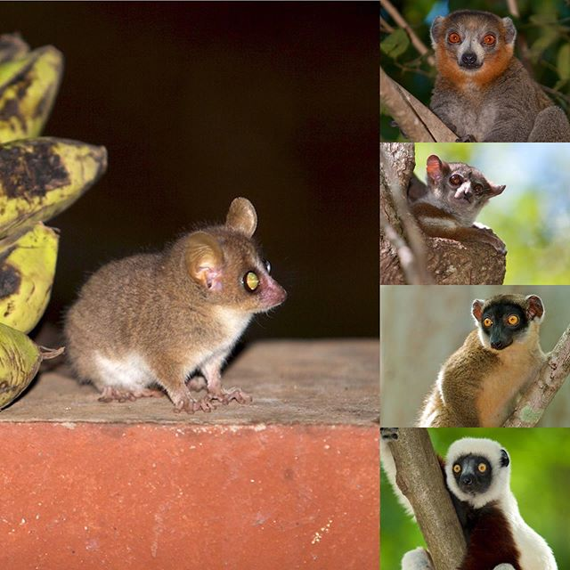 Will be looking for these #lemur species and more on our next research expedition in June/July. I'll be proudly carrying the @the_explorers_club flag and working with @planetmadagascar staff and other amazing researchers to walk and survey the 220km perimeter of Ankarafantsika National Park, #Madagascar