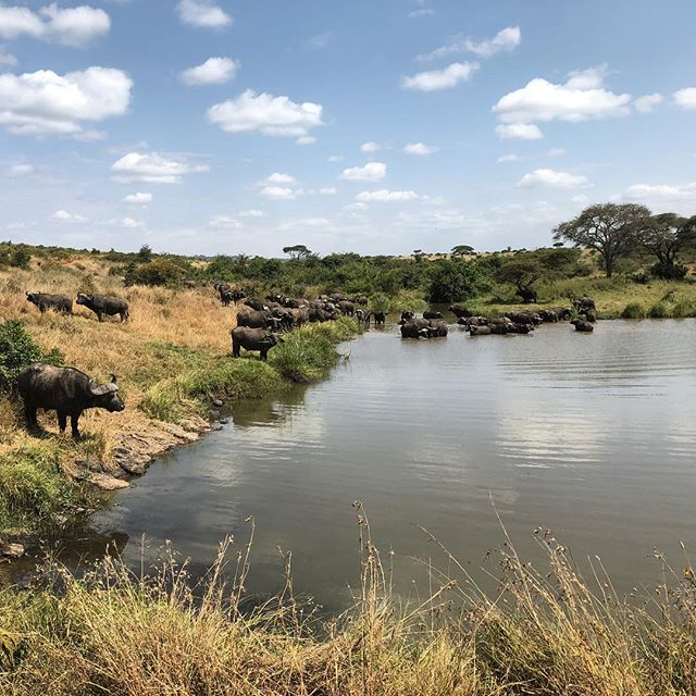 Cape buffalo coming down for drink on in Nairobi National Park