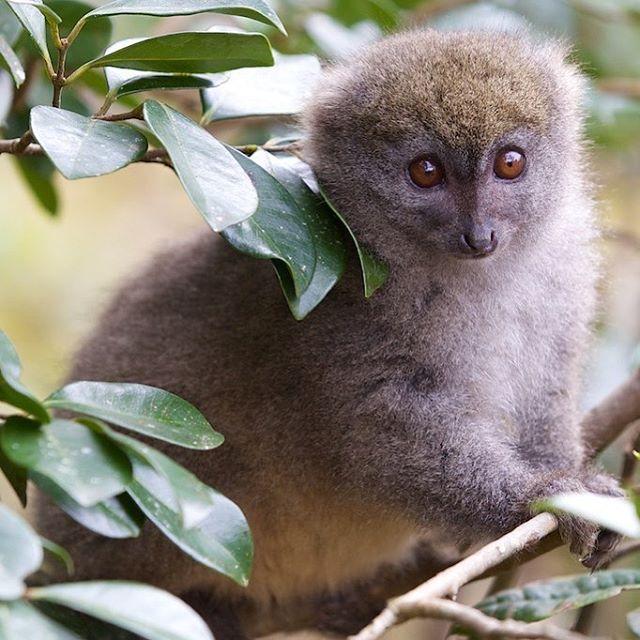 This cute bamboo lemur is enjoying International Primate Day #internationalprimateday #lemur #travellingprimate @planetmadagascar