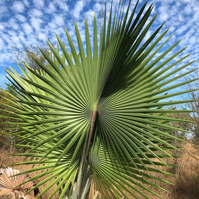 Beautiful palm on one of our transects along our 200+ km expedition around Ankarafansifa National Park.