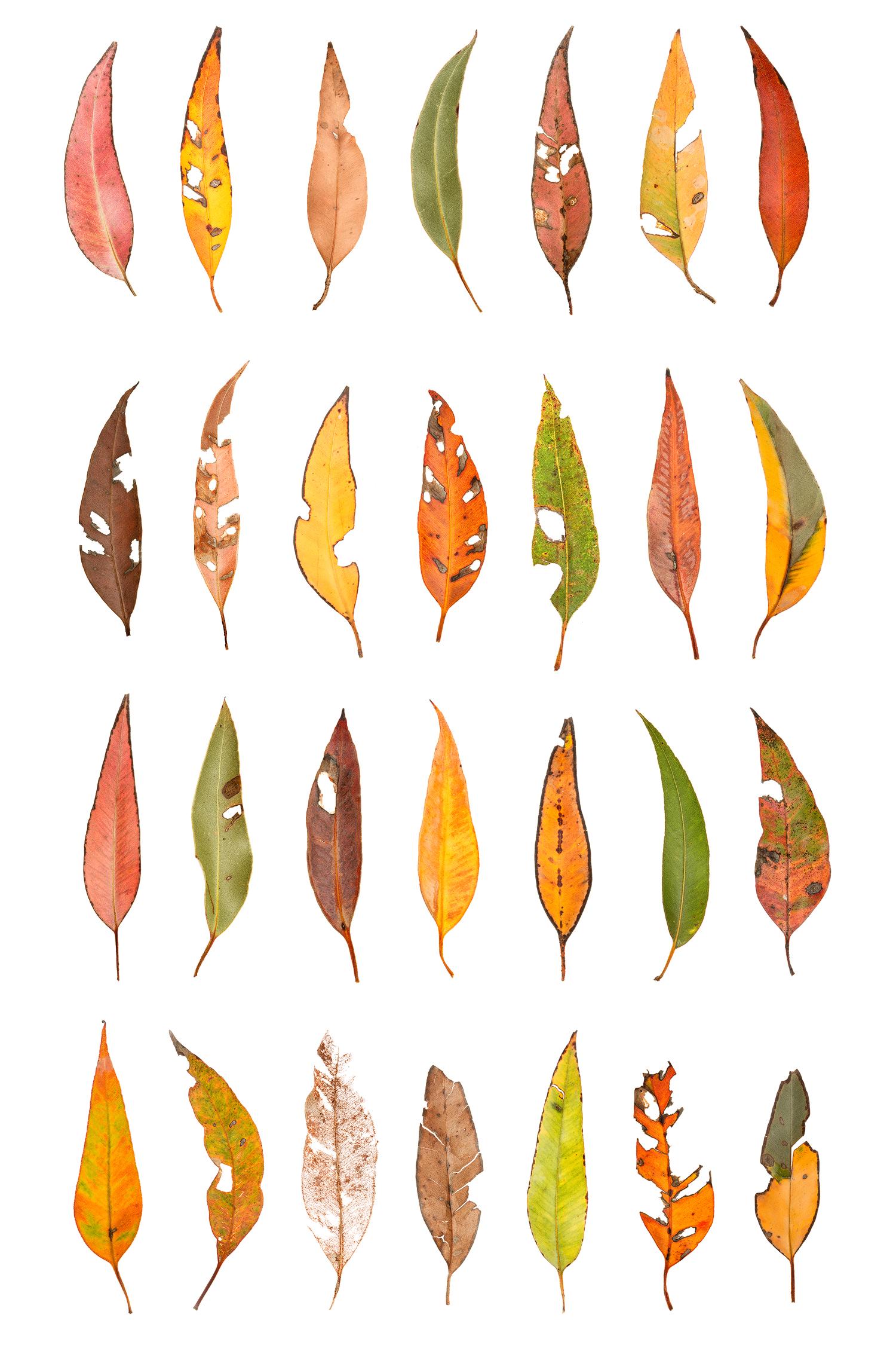 Eucalyptus Leaf Panel