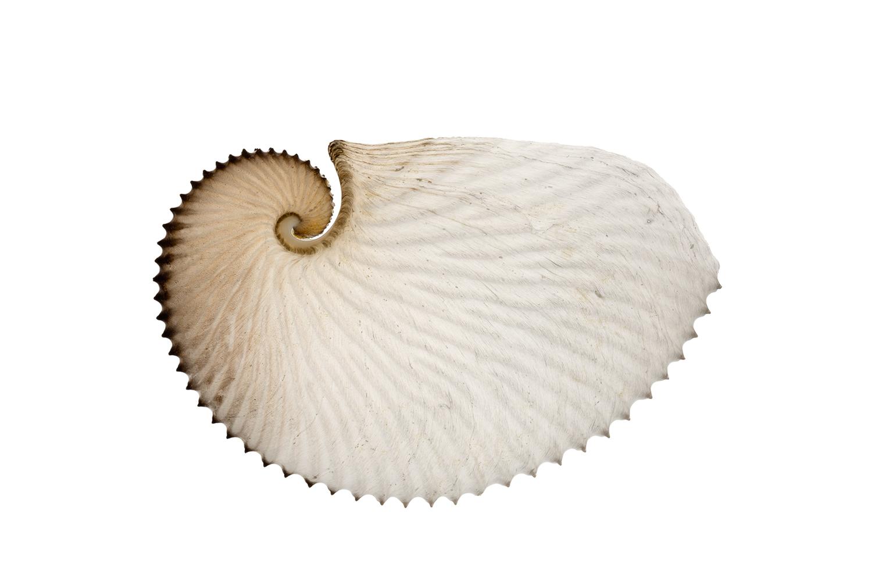 Paper Nautilus (Argonauta sp.)
