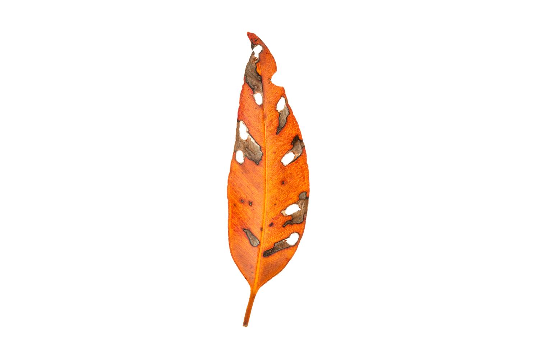 Single Eucalyptus Leaf