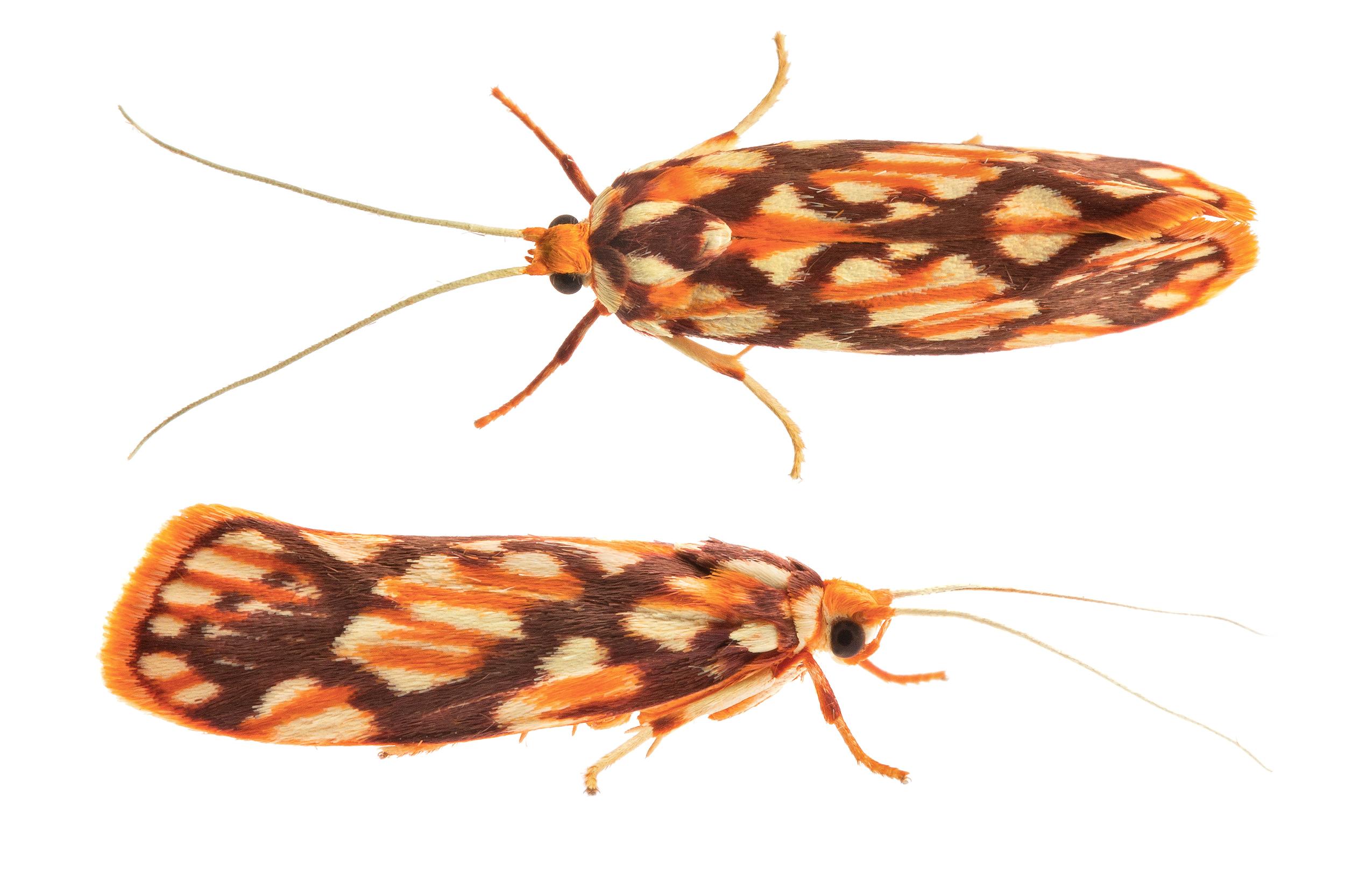Tropical Burnet Moth (Lactura panopsia)