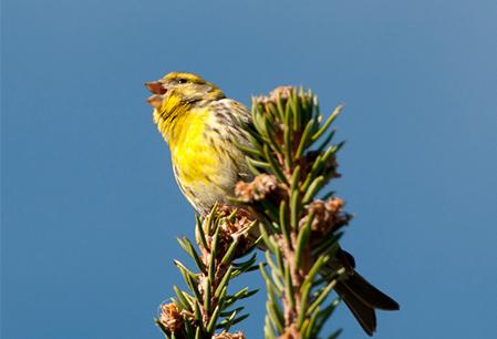 singing-canary