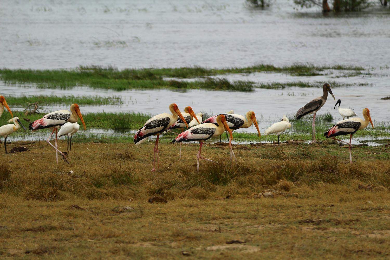 Wasservögel, Yala East / Kumana Natioal Park, Sri Lanka