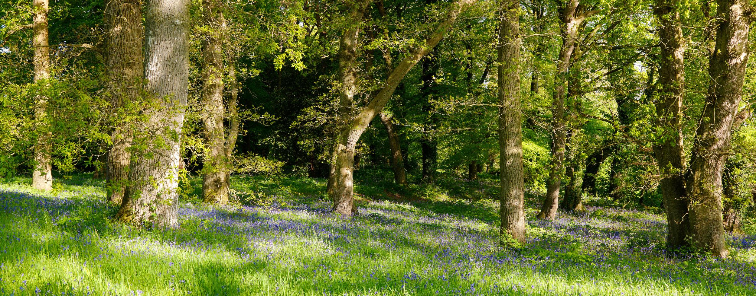 Mount_Juliet_Bluebell_Forest.jpg