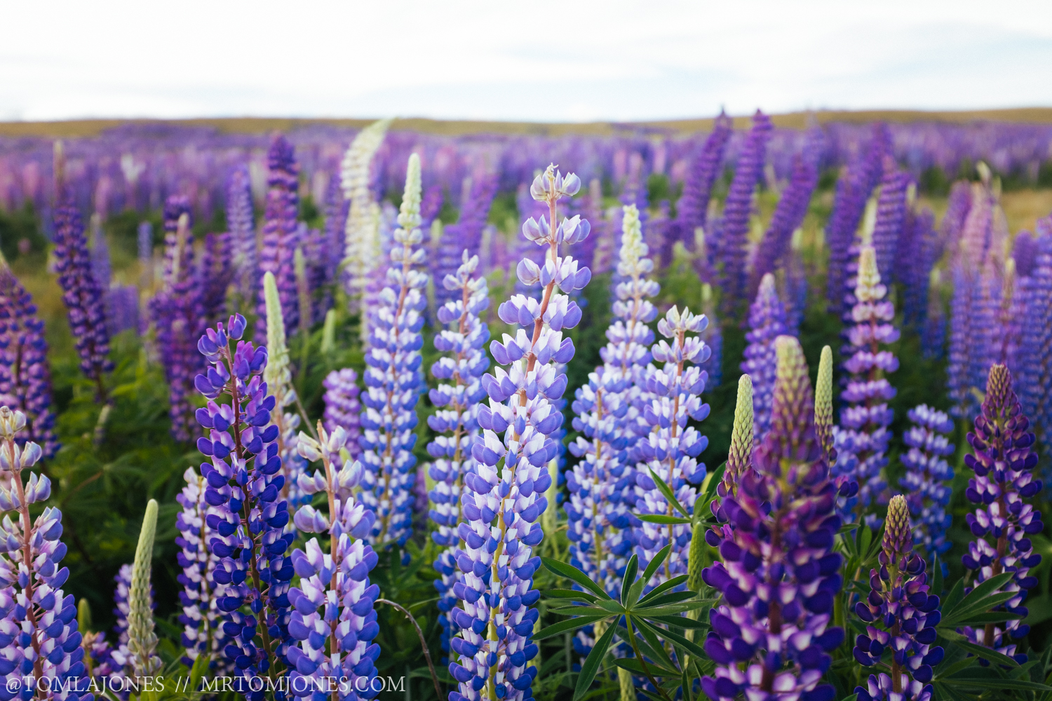 The invasive Lupin flower. Like us humans here, they're not native, but by gosh are they beautiful.