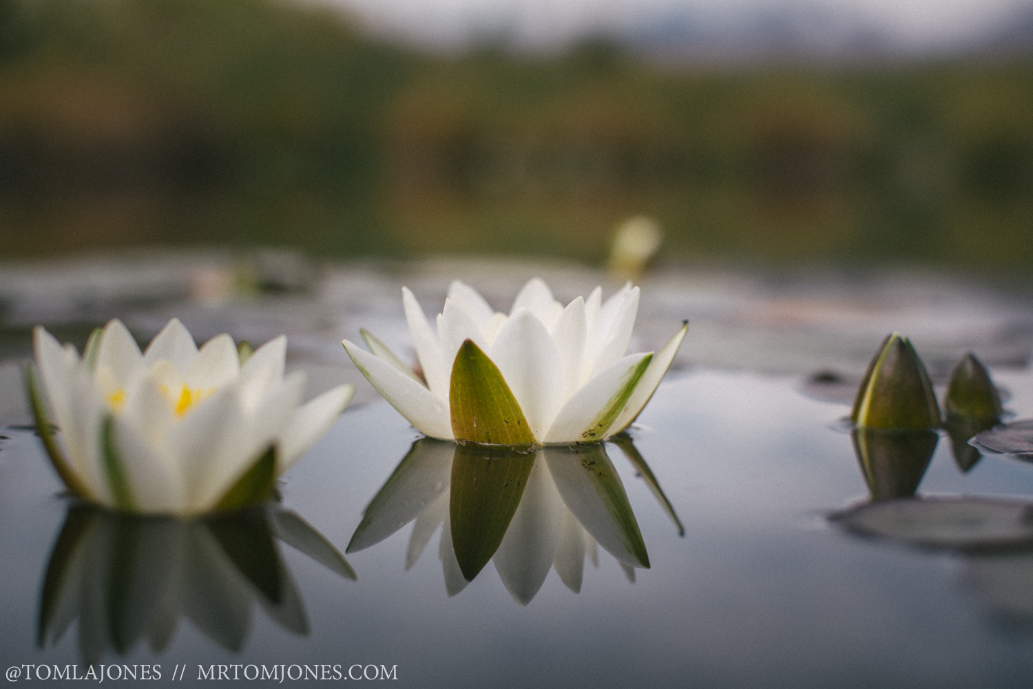 Lotuses bloom from the Aro Ha pond