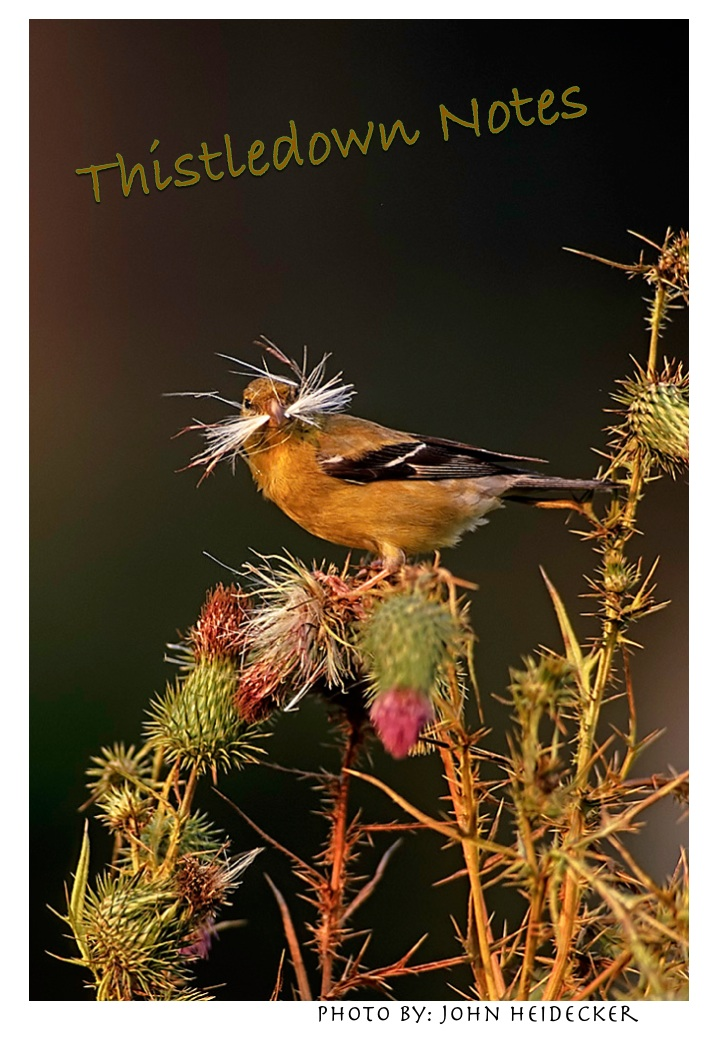 Life often presents itself to us like the the prickly thistle plant, but the goldfinch is on to something.