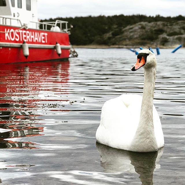Close encounter of the bird kind. #kosterhusen #strandkanten #påskpåkoster