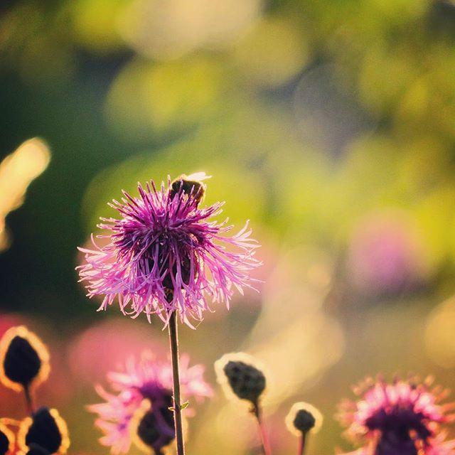 Efter sköna dagar på stranden kan du kolla på när naturens egna trädgårdsmästare, bina, sköter om ängsblommorna. #nordkoster #svensksommar #blommor #bin